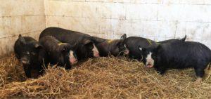 Berskshire Schweinefleisch direkt vom Erzeuger