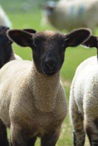 Das Suffolk Schaf im Schwarzald