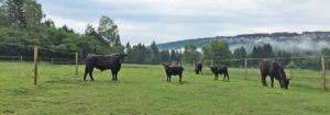 Wagyu Rindfleisch aus dem Schwarzwald