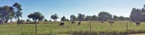 Wagyu und Angus Rinder Büchenbronn