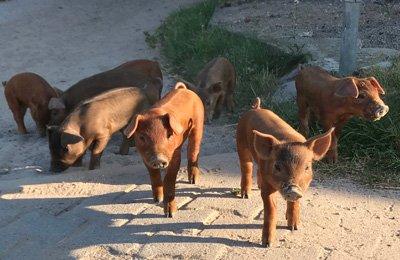 Duroc Schwein aus Büchenbronn