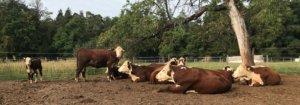 Hereford Rind aus dem Nordschwarzwald